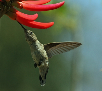 Humming Bird by Michael Elliott, from www.freedigitalphotos.net